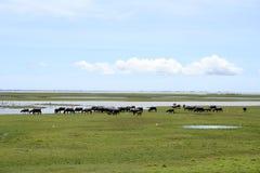 вода буйвола Стоковые Фотографии RF