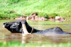 вода буйвола Стоковое Фото