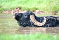 вода буйвола Стоковое Изображение RF