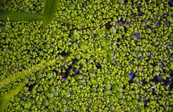 Вода в пруде покрыта с duckweed Стоковая Фотография