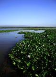 вода гиацинта Стоковое Изображение