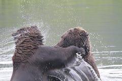 вода гризли бой Стоковое Фото