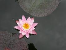 вода дождя лилии Стоковые Изображения RF