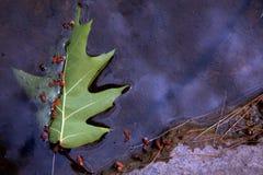 вода единственного числа листьев Стоковые Изображения