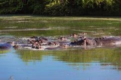 Вода живой природы гиппопотамов стоковые фото