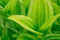 вода зеленых листьев падений тропическая Фото предпосылки крупного плана Стоковые Фото