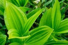 вода зеленых листьев падений тропическая Фото предпосылки крупного плана Стоковые Фотографии RF
