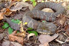 вода змейки sipedon nerodia северная Стоковая Фотография RF