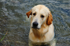 вода золотистого retriever Стоковая Фотография