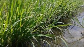 Вода и высокорослая трава сток-видео