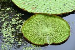 вода лилии Амазонкы гигантская Стоковые Фотографии RF