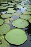 вода лилии Амазонкы гигантская Стоковая Фотография