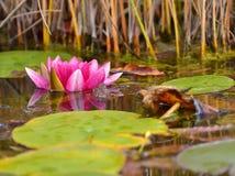 вода лилии красная Стоковое Фото