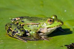 вода лилии листьев лягушки Стоковые Изображения
