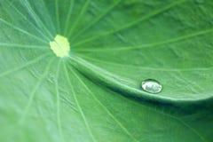вода лилии листьев Стоковое Фото