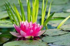 вода лилии предпосылки Стоковые Фотографии RF