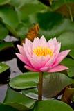 вода лилии розовая Стоковые Фотографии RF