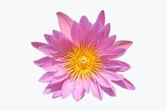 вода лилии розовая Стоковые Изображения RF