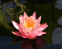 вода лилии розовая Стоковая Фотография