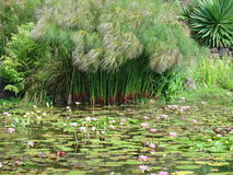 вода лилии сада Стоковые Фотографии RF