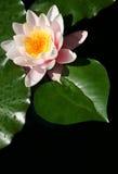 вода лилии сердца Стоковая Фотография