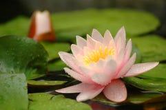 вода лилии цветка Стоковая Фотография