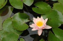 вода лилии цветка Стоковые Изображения