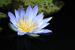 вода лилии цветка Стоковое Изображение