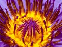 вода лилии 10 цветков Стоковое Изображение RF