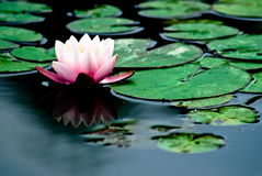 вода лилии Стоковые Изображения RF