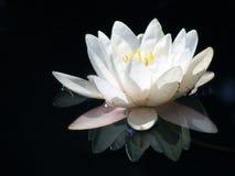 вода лилии Стоковое Фото