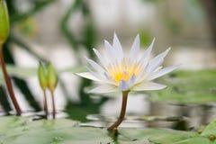вода лилии Стоковое Изображение
