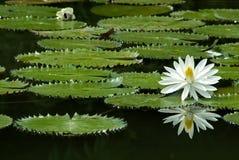 вода лилии Стоковая Фотография RF