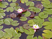 вода лилии Стоковые Изображения