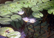 вода лилий Стоковое Изображение RF