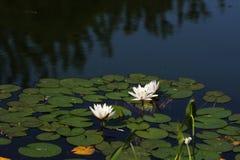 вода лилий Стоковое Фото
