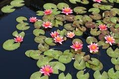 вода лилий Стоковая Фотография