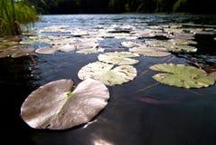 вода лилий v1 Стоковые Изображения