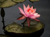 Вода Лилль стоковое изображение
