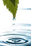 вода листьев капания Стоковое Фото