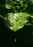 вода листьев капек стоковое изображение rf