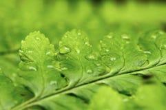 вода листьев капек Стоковые Фото