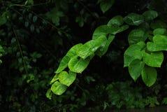 вода листьев Стоковое Фото