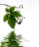 вода листьев Стоковое Изображение RF