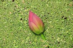 вода лотоса бутона плавая Стоковые Фото