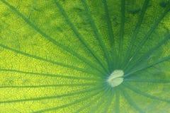 вода лотоса лилии листьев стоковое фото rf