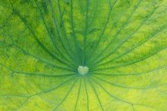вода лотоса лилии листьев стоковые изображения