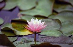 вода лотоса лилии цветения Стоковые Фотографии RF