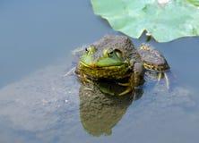 вода лягушки Стоковое фото RF