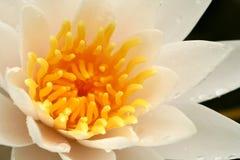вода макроса лилии Стоковая Фотография RF